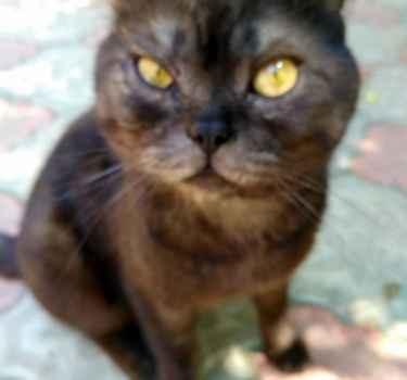Британский короткошёрстный кот ищет хозяина