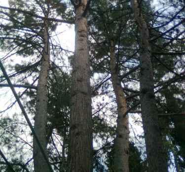 Приморский парк  Алушты. Кедрам и соснам пилят ветви