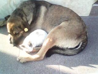 Собака - лучший друг и отец для маленького котенка