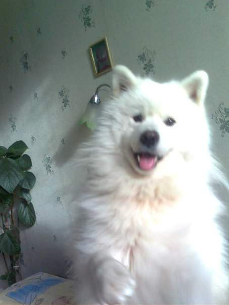 В Алуште потерялась собака - самоедская лайка