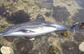 23 февраля в районе Алушты обнаружен погибший дельфин