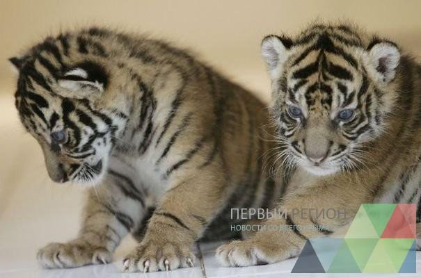 v-parke-lvov-taygan-v-krymu-rodilas-dvoynya-amurskih-tigrov_1.jpeg