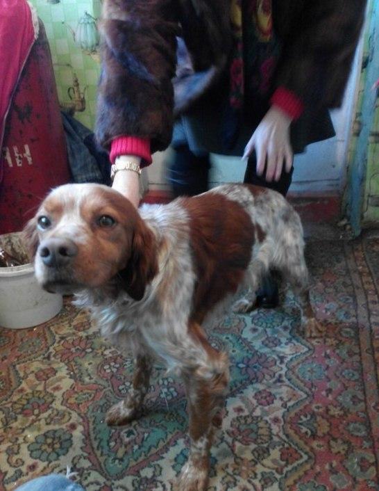 Кто потерял собаку породы эпаньол бретон?